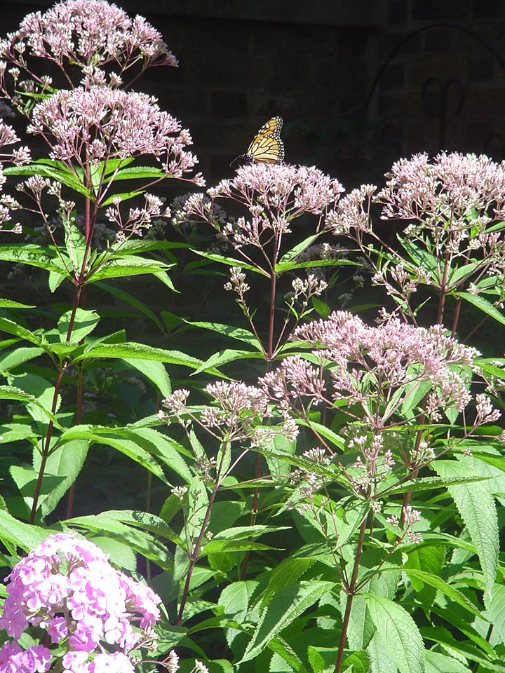 joe pye weed (gravel root)